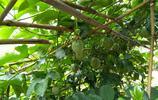 果園裡的百香果開花結果了,種一棵就夠自己吃一年了!