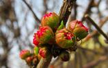 微距攝影——榆葉梅花蕾
