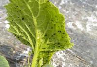 蚜蟲這樣治,一季無蚜蟲,乾淨又徹底