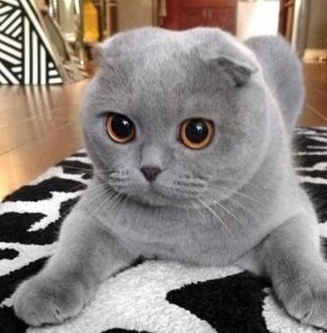 動物圖集:折耳貓