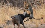 獅子與野牛對打,受傷的為什麼是獅子?