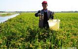 稻田裡養螃蟹從來不用打農藥,一畝收益達1.3萬元,螃蟹供不應求