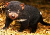 平頭哥的表弟,澳洲人稱它為惡魔,最大的食肉有袋動物!