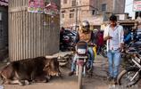 印度城市街頭實拍:所謂的神牛都在街頭流浪,垃圾堆裡覓食為生