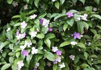鴛鴦茉莉俗名雙色茉莉,開花對生花兩種顏色,鴛鴦茉莉只能盆栽!