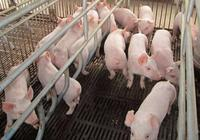 仔豬得黃白痢怎麼辦?治療方法全在這了