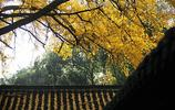 江蘇揚州百年銀杏樹迎來最佳觀賞季 金色醉染初冬美景