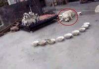 寵主家的金毛生了一窩狗寶,一幫子小狗崽排隊有序的吃飯
