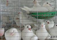 我打算養一千對肉鴿需要多少資金,如何養最好?