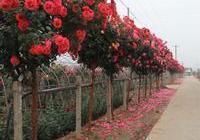 月季樹嫁接教程圖解,原來那麼簡單,還可以嫁接成一樹多花