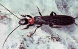 此昆蟲是我國2種一級重點保護昆蟲之一,被譽為活化石精靈!