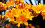 杜鵑十大名花之一,大樹杜鵑更是中國國寶