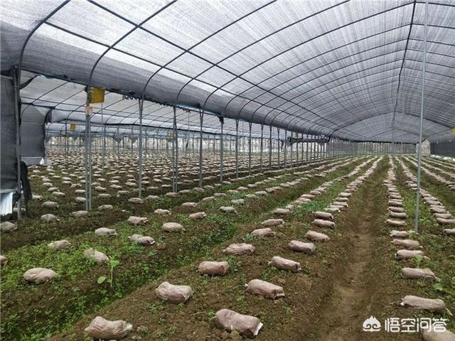 裁培羊肚菌時放的營養袋起什麼作用?該怎麼種植?
