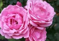 馬上到月季盛花季節,花期前做好這幾點,開花翻兩倍!盆盆開爆!