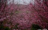 剪枝的桃花林你看過嗎?這才叫蔚為壯觀!