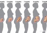 我已經懷孕三個月了,為什麼還沒有顯懷呢?