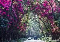 這條1500米長的簕杜鵑長廊,變成了春天裡的愛情隧道!