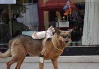 貓咪自從和狗狗和睦相處以後,出門不用帶腿,旁人紛紛刮目相看!