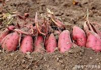 紅薯雖然不挑地,但種植技巧卻會讓它產量翻倍,都來了解下