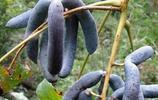 農村大山裡面的野果,就算有錢也買不到,現在已經非常稀少了!