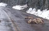 美洲獅大戰岩羊不幸雙雙掉涯慘死,獅口還有一嘴毛,羊角摔斷!