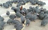 """所謂""""靠雞吃雞"""",農民雞年養雞不賣雞,年收入照樣過百萬!"""