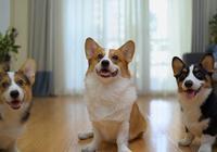 狗狗在家亂尿怎麼辦?養了3只狗的鏟屎官來教你,包你一學就會