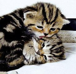 虐狗看過不少,可虐貓你見過麼,看看喵星人如何向伴侶示愛,酥炸了