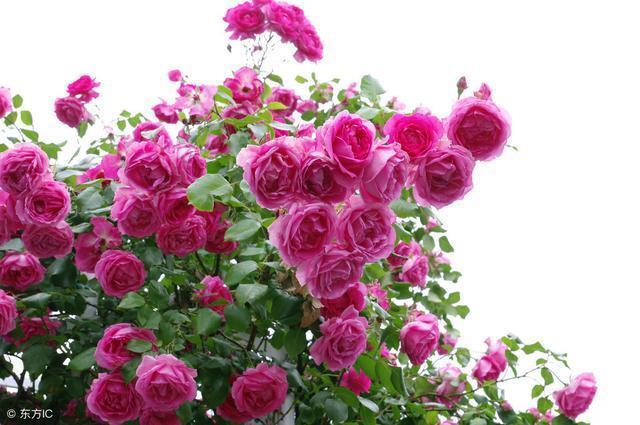 愛上一棵會開花的樹|樹狀月季