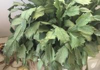 蟹爪蘭怎麼移栽?