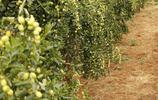 陽臺種花卉早就不興了!現流行在種果苗,果子壓滿枝頭關鍵還不貴