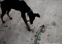 """杜賓犬好奇在玩小貓,結果被母愛看到,上去就是一""""貓貓拳""""教訓"""