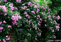 七言絕句《薔薇花開》
