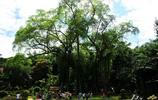 鏡頭下中國最大榕樹 獨木成林