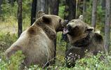 動物圖集:大狗熊2