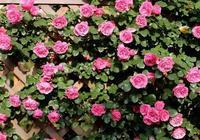 農村院子必選20種爬藤花,1棵爬滿牆!