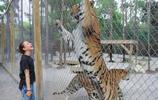 那些被圈養的巨大東北虎