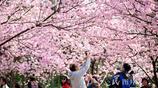 南京櫻花綻放春光爛漫 遊人徜徉粉色仙境