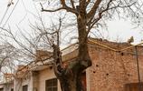 皁角繁盛、枝條舒展,小編帶您看看老家西安市臨潼區的百年皁角樹