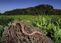 李曉明:這種以蚯蚓為鏈條的循環農業前景廣闊!