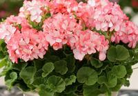 """這種花太瘋狂,剪一根插土裡就能活,開花旺盛,成為最""""火""""盆栽"""