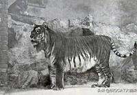 分佈在我國的5種老虎:1種滅絕,1種野外滅絕,野生總數不到100只