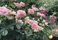 分享買來月季苗以後正確的上盆方式,做對了月季發芽快易開花爆盆