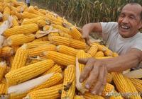 玉米穩住了,市場陷入拉鋸戰