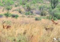 飛羚遇到獵豹,就算會飛也難逃出生天