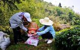 2019年19張照片告訴你貴州有機栽種的綠茶,它生長在雲霧山中!