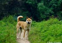 一條中華田園犬的使命