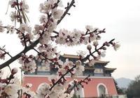 信陽靈山的野櫻桃花 盛開著一個神話般的故事(圖)