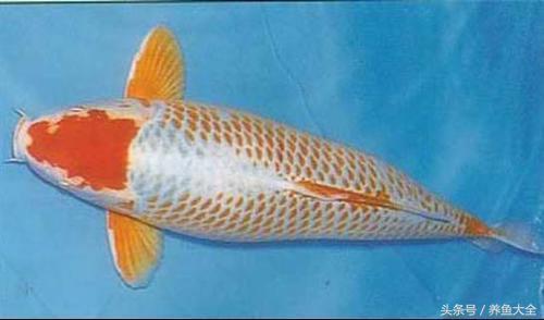 怎麼區分錦鯉的品種?