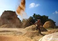 農村老人說收小麥的時候有五件事最讓人開心,你知道這五件事是什麼嗎?